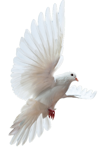 Dove Png image #41738