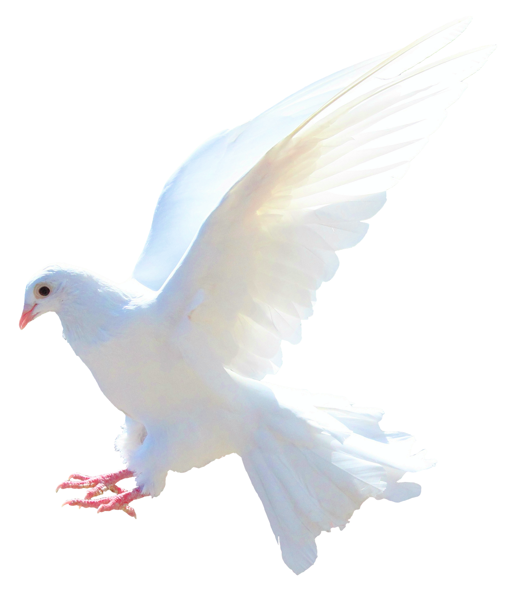 Dove PNG Transparent Image image #41742