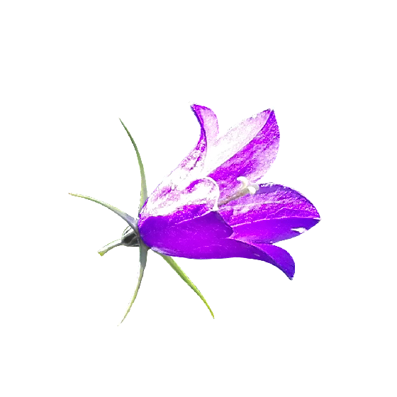Download Bellflower Png Clipart