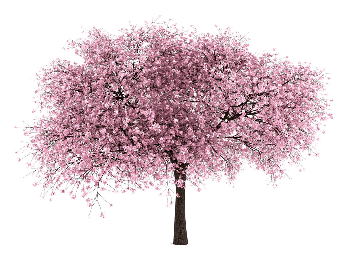 Download For Free Cherry Blossom Png High Resolution