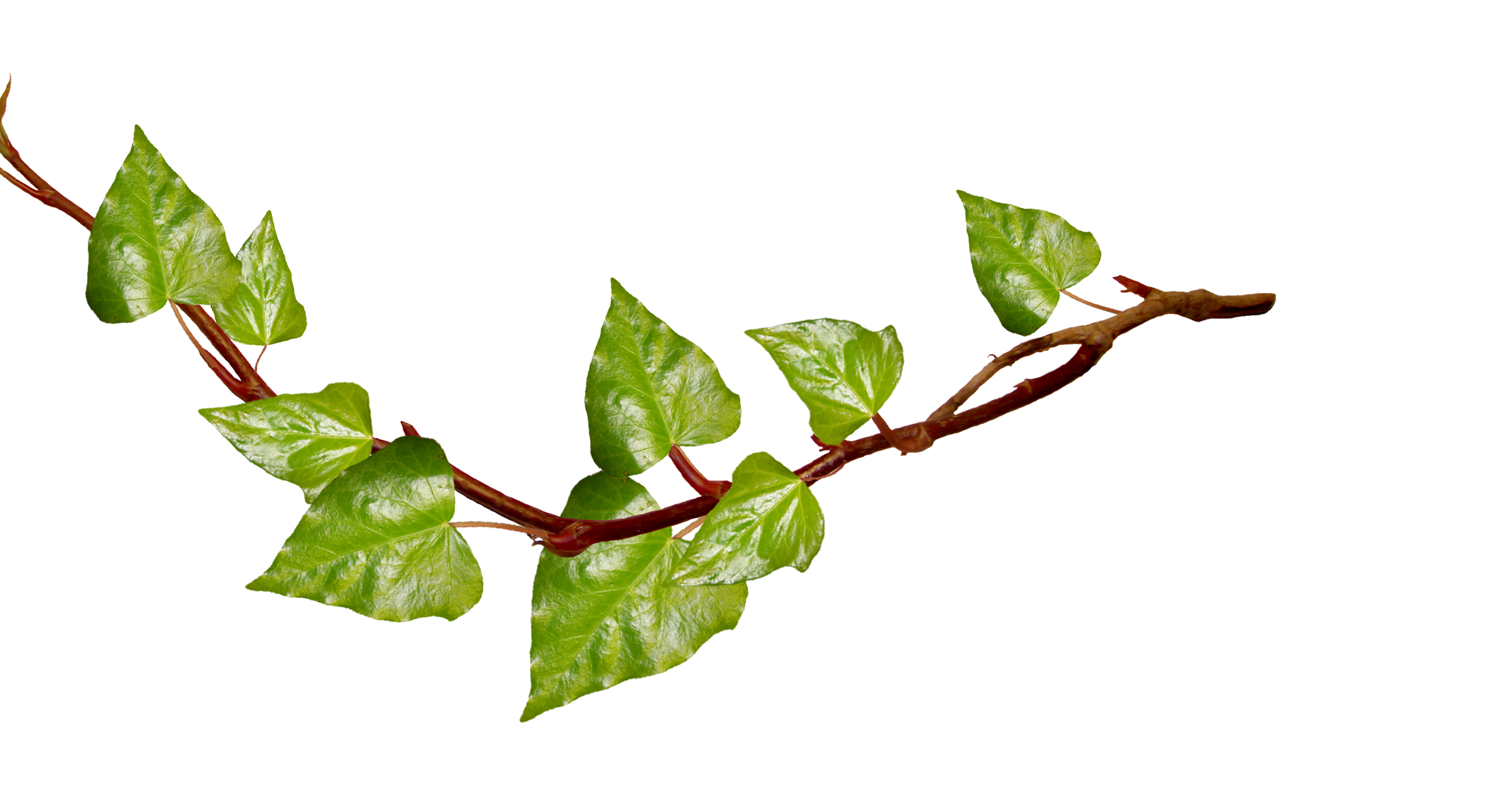 Download Ivy Plants High quality Png