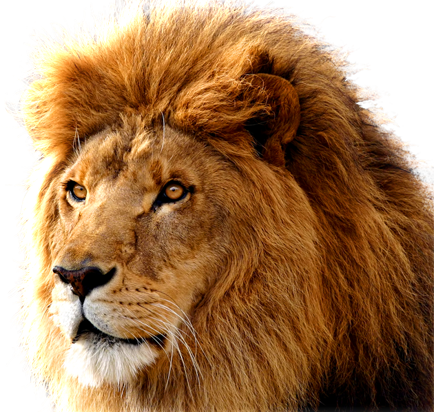 download lion png images transparent gallery