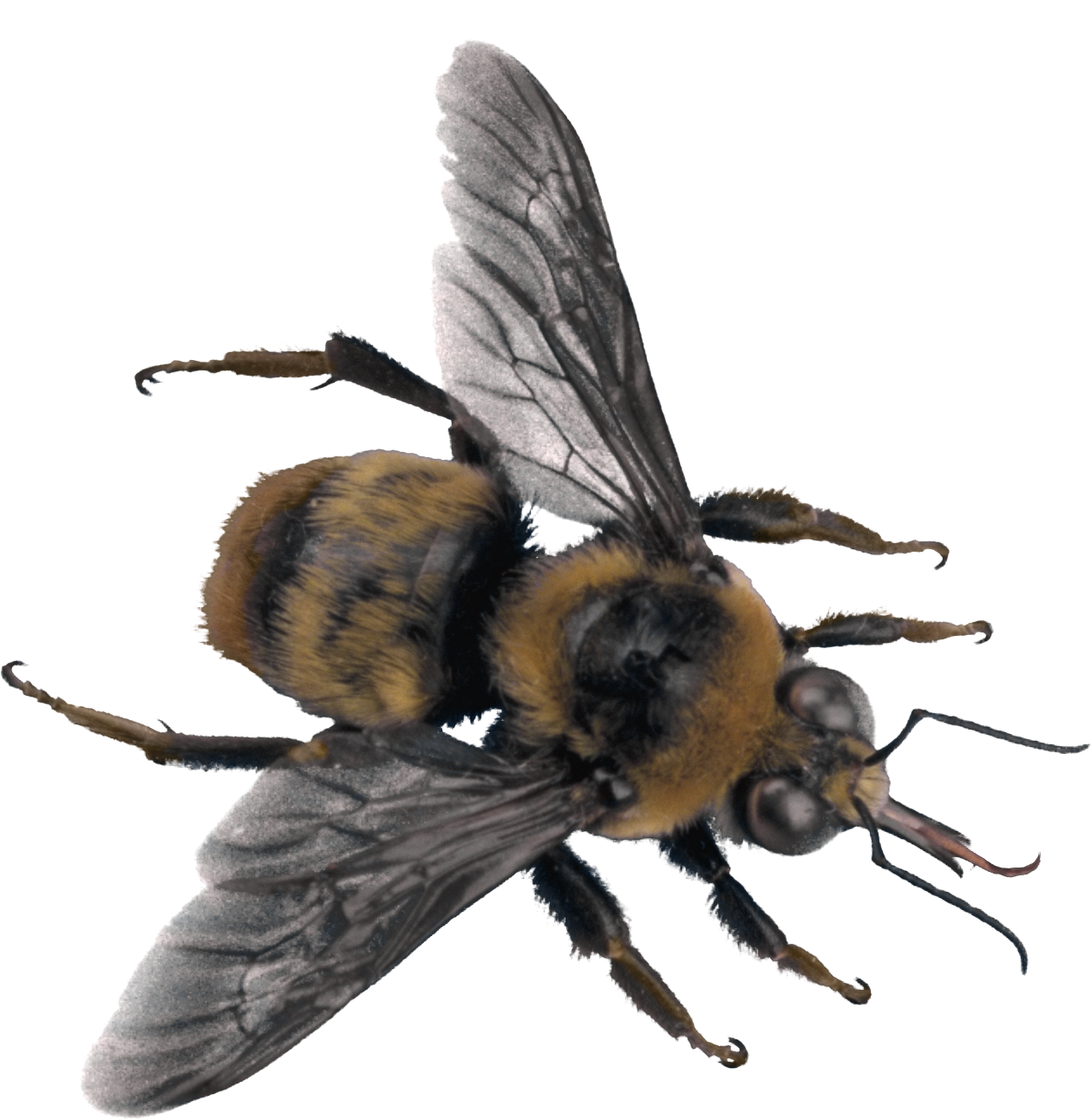 Download Png Bee High-quality image #45413