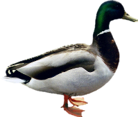 Duck In Png