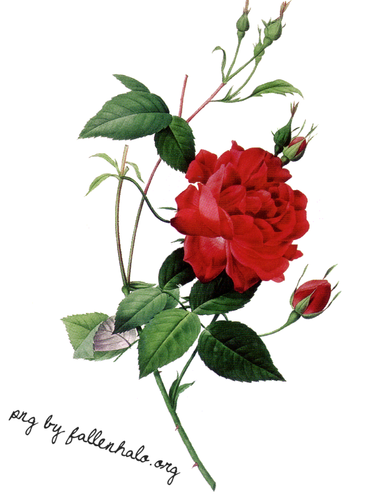 Elegant Roses Png 39862 Free Icons And Png Backgrounds
