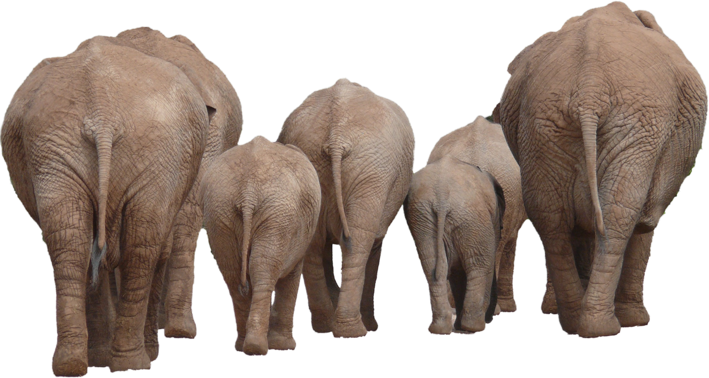 Elephant Family Group PNG