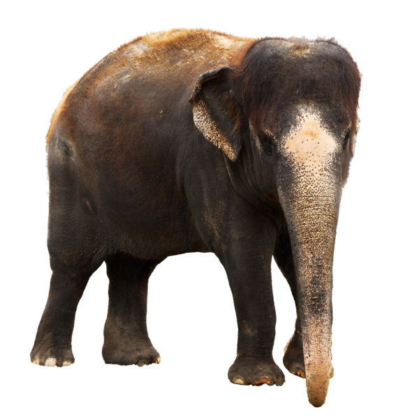 Download Png High-quality Elephant image #43246