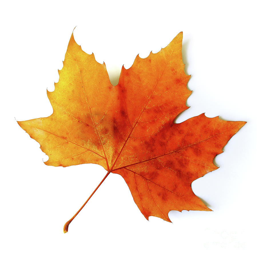 Fall Leaf Icon image #41716
