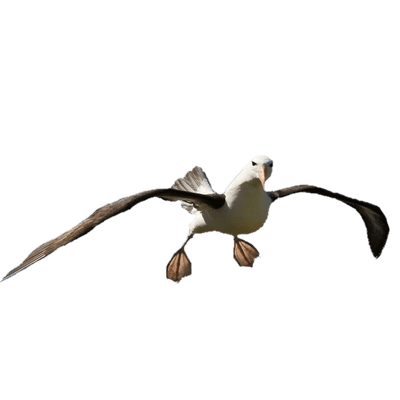 Fearless Animal Albatross Photo