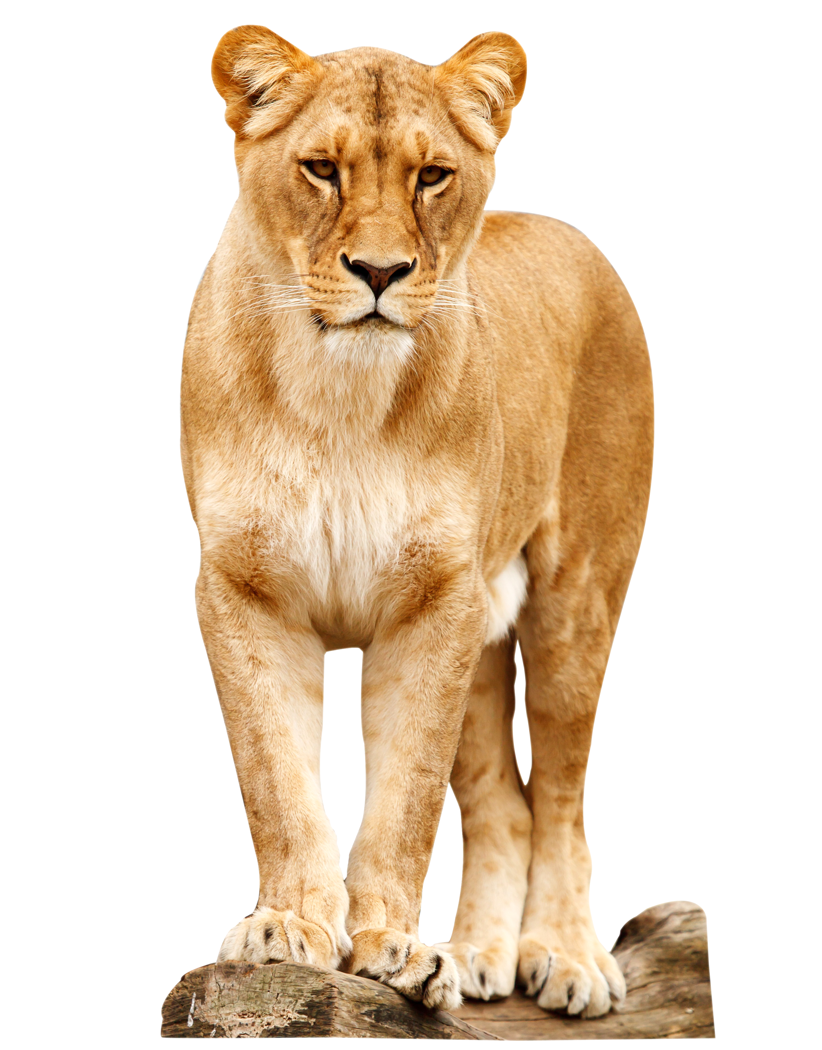 Female Lion Standing PNG image #42285