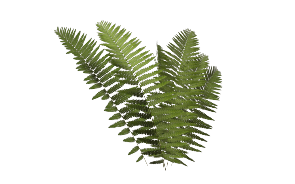 Fern Frond Png image #26179