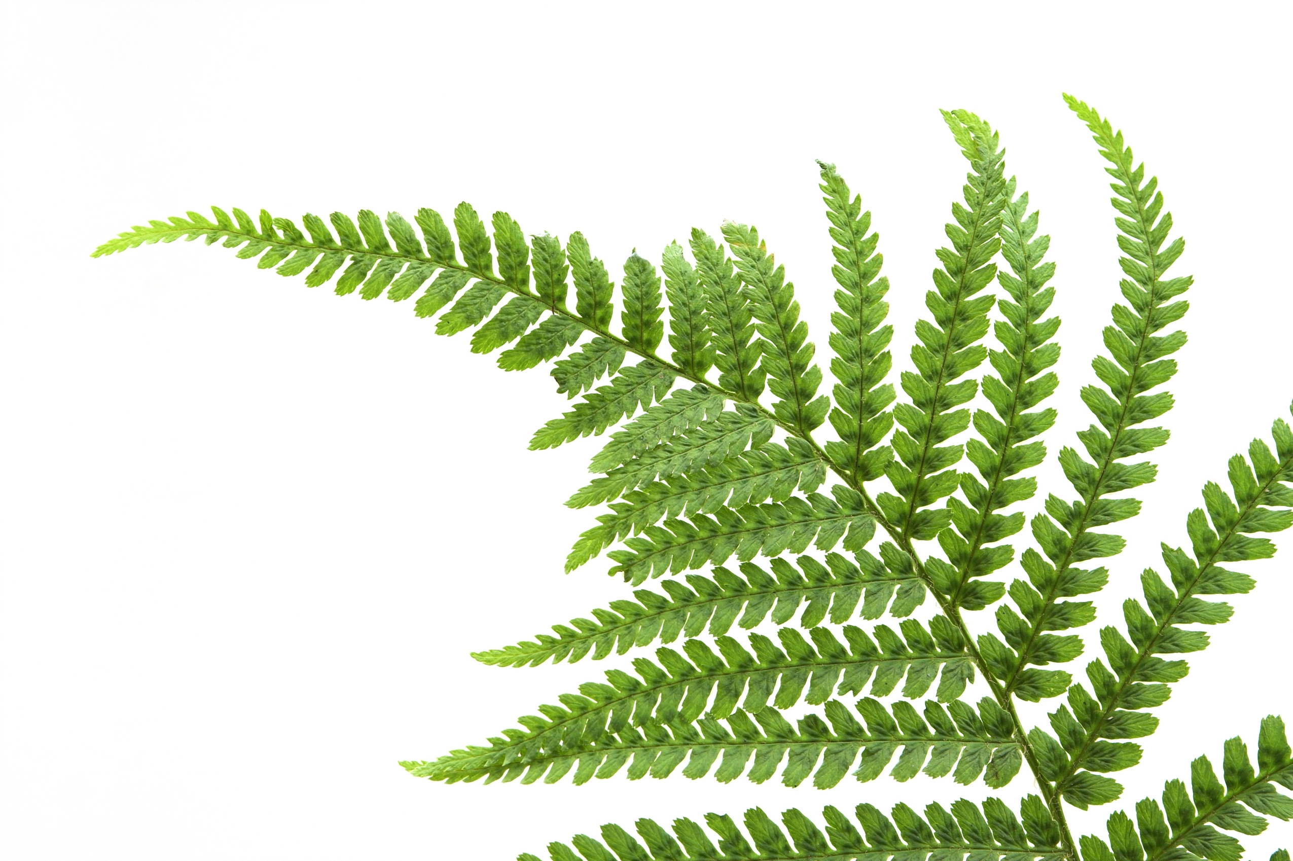 Fern Png image #26200