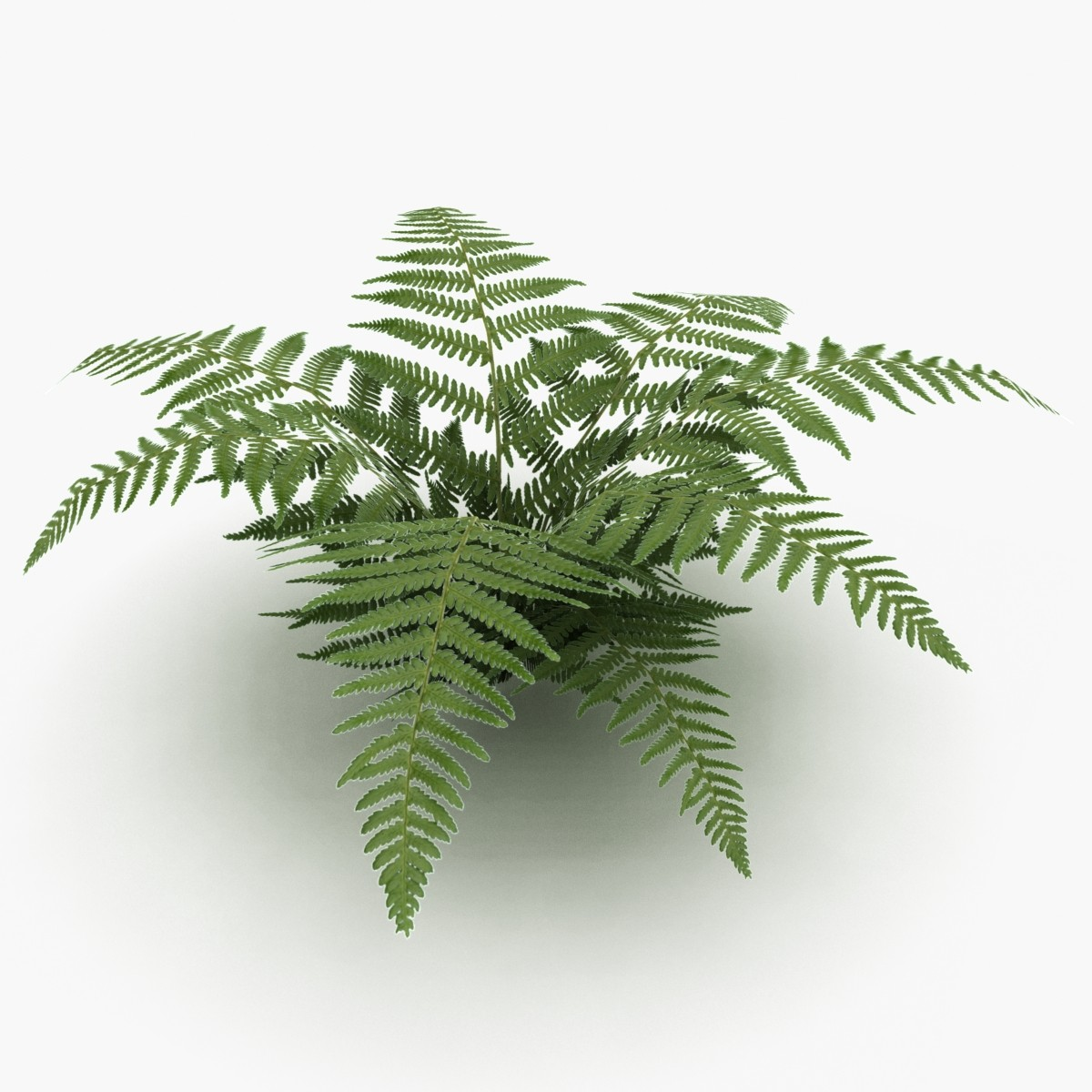 Download Ferns Png Vector Free image #26191