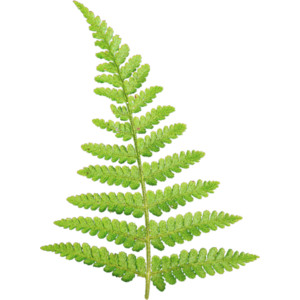 Ferns PNG Free Download