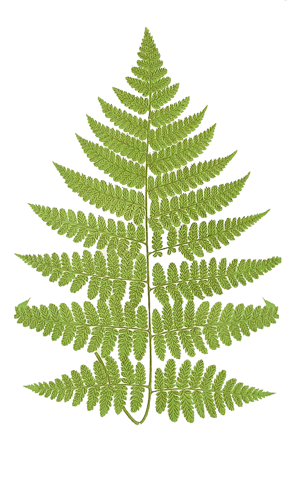 Ferns Best Png Clipart image #26180