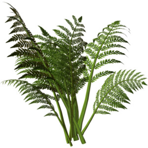 Get Ferns Png Pictures image #26202
