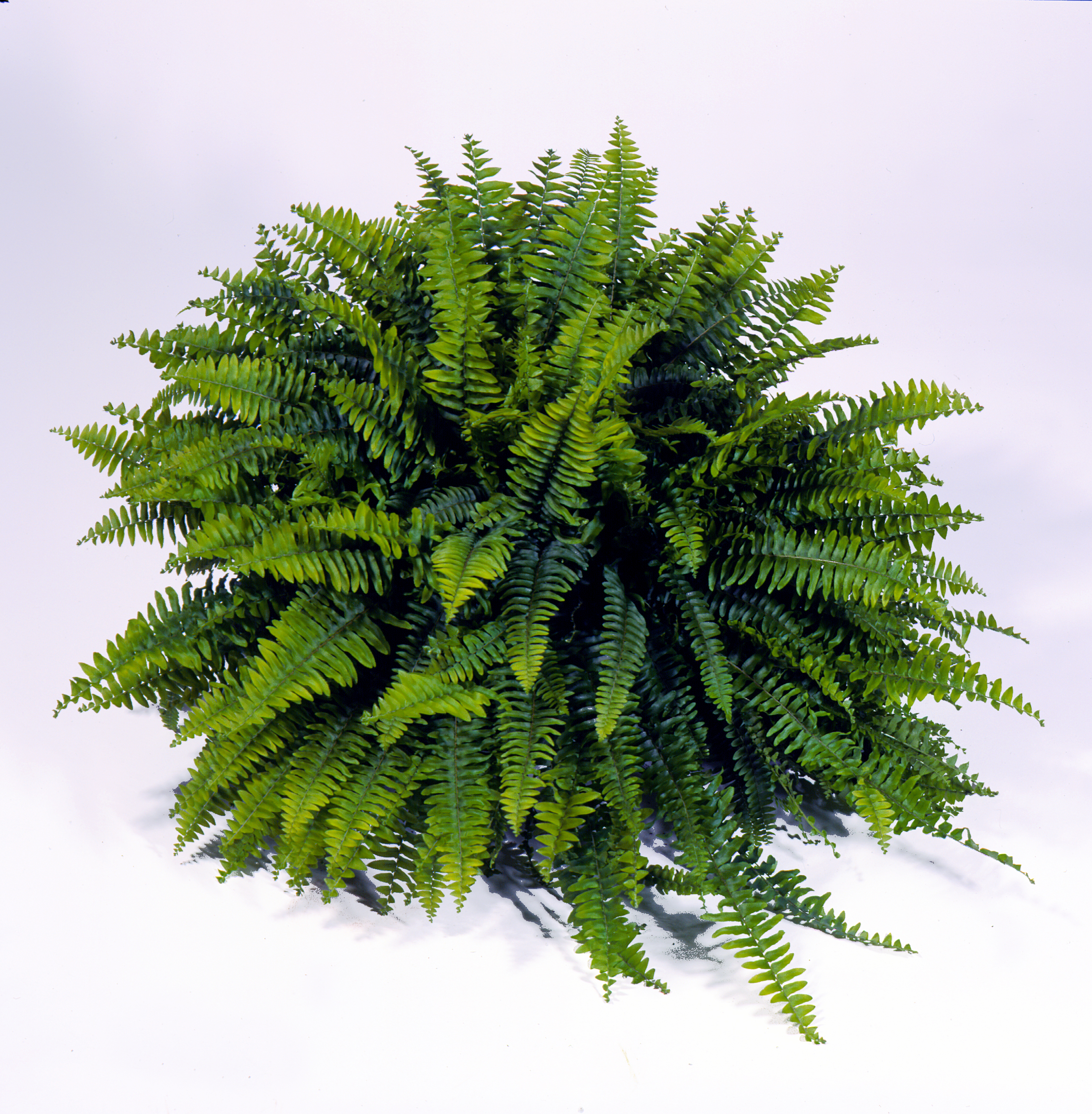 Download And Use Ferns Png Clipart image #26204