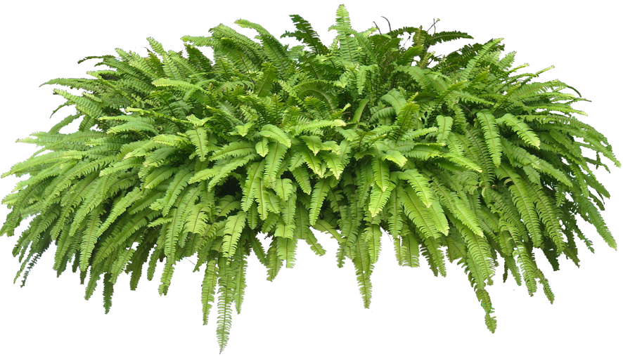 High Resolution Ferns Png Icon image #26186