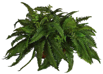 Ferns Png Photo image #26205