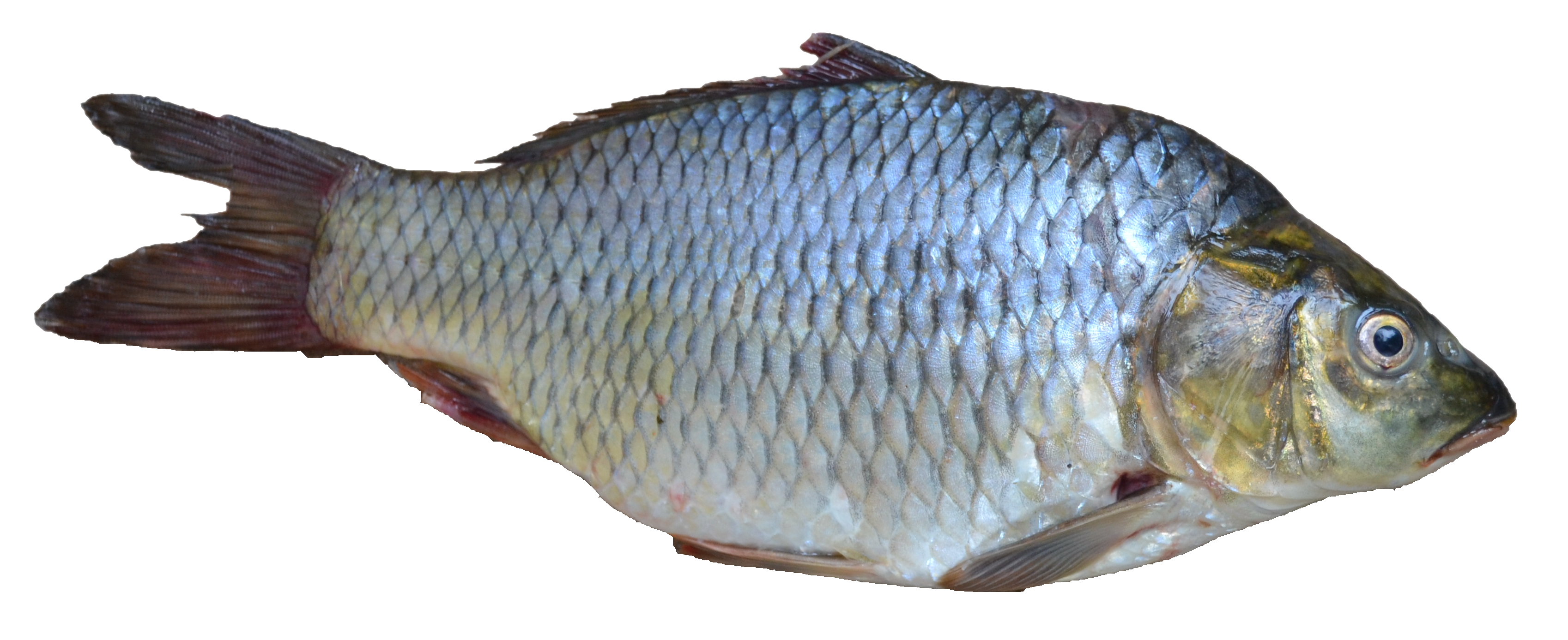 Download Free High quality Fish Png Transparent Images