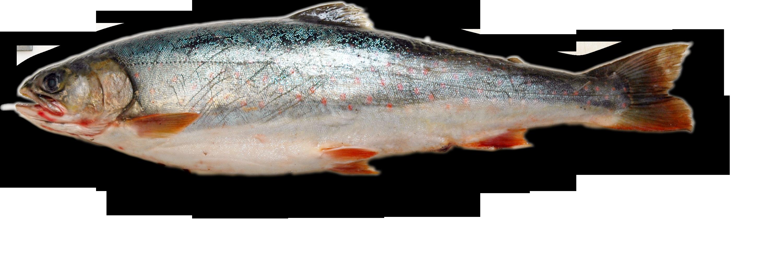 Fish PNG 5