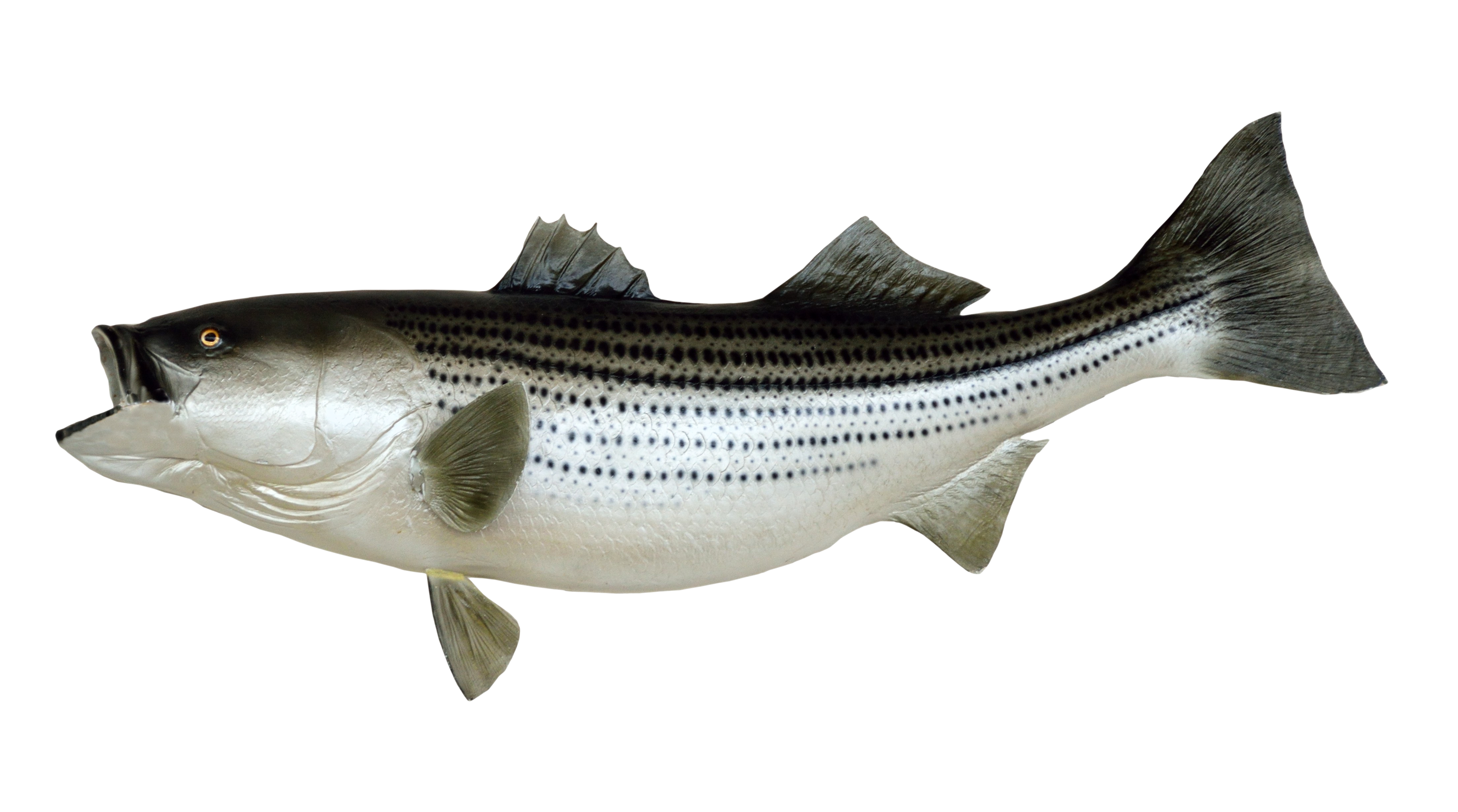 Fish PNG Transparent