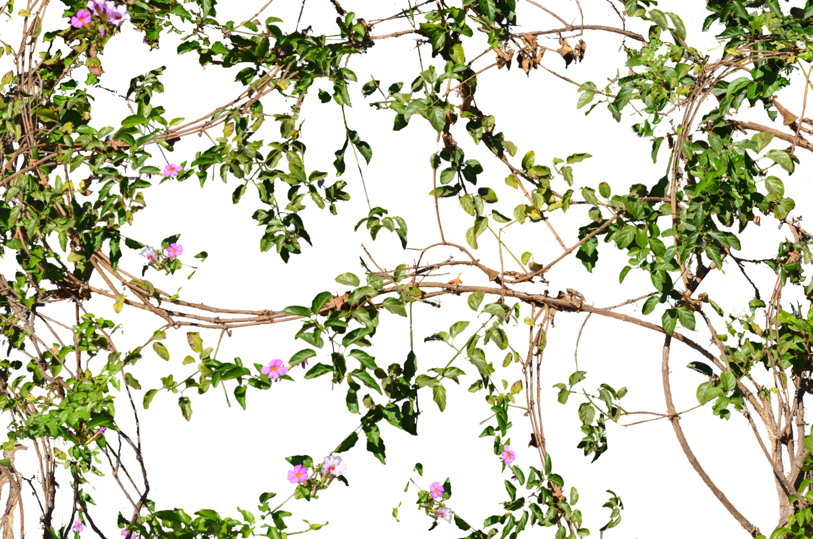 Flowering Jungle Vines Flowers Png