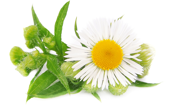Flowering Plant Camomile Daisy Pedicure Aromatherapy Photograph image #48739