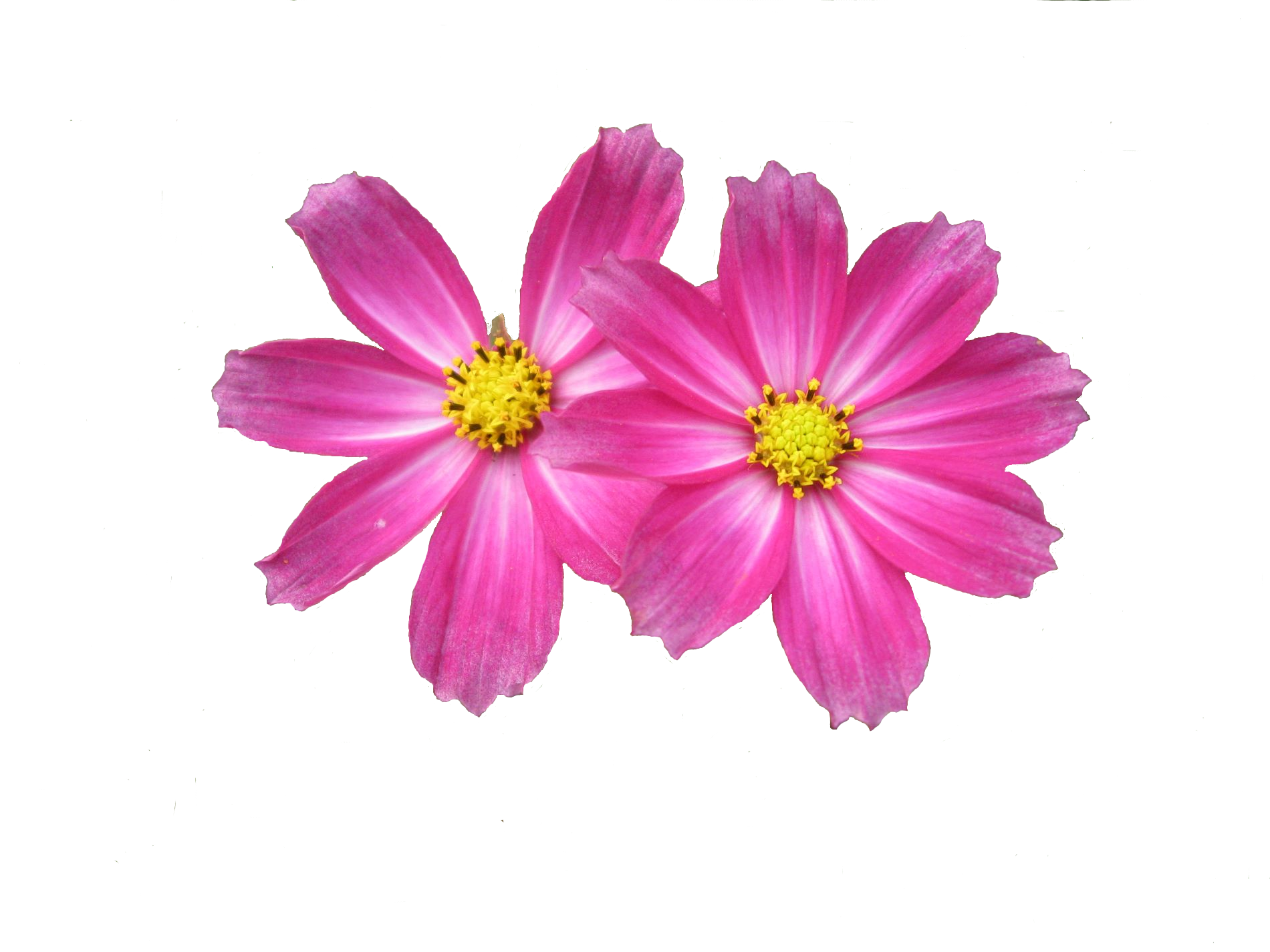 Flower transparent png pictures free icons and png backgrounds free download flower png images image 28706 mightylinksfo