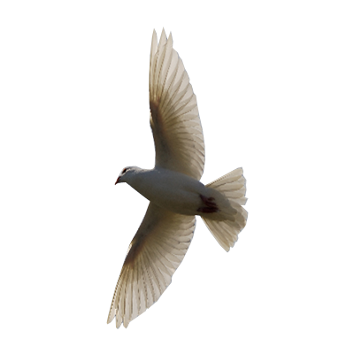 Flying Bird transparent background