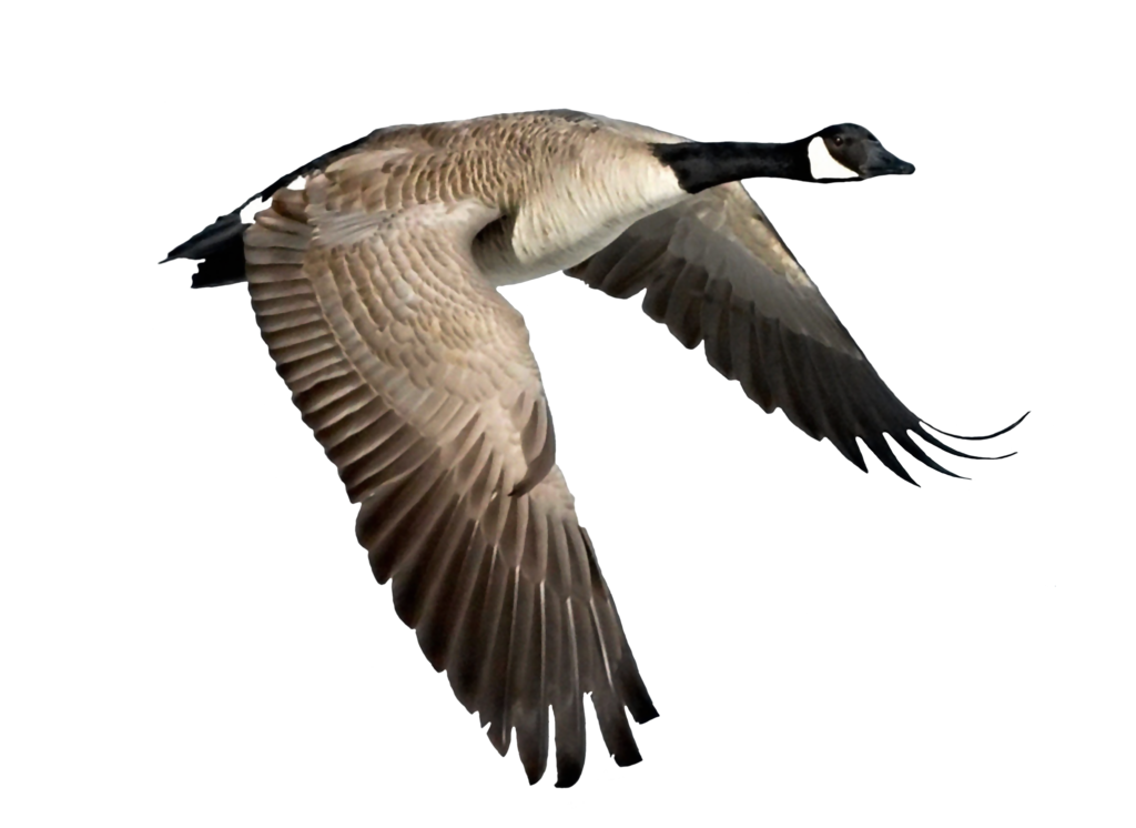 flying goose png