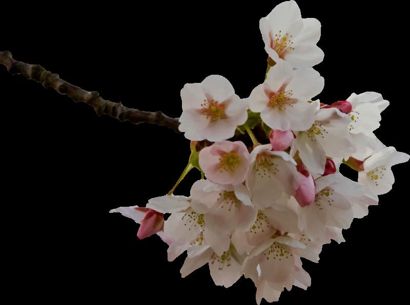 Free Cherry Blossom Image