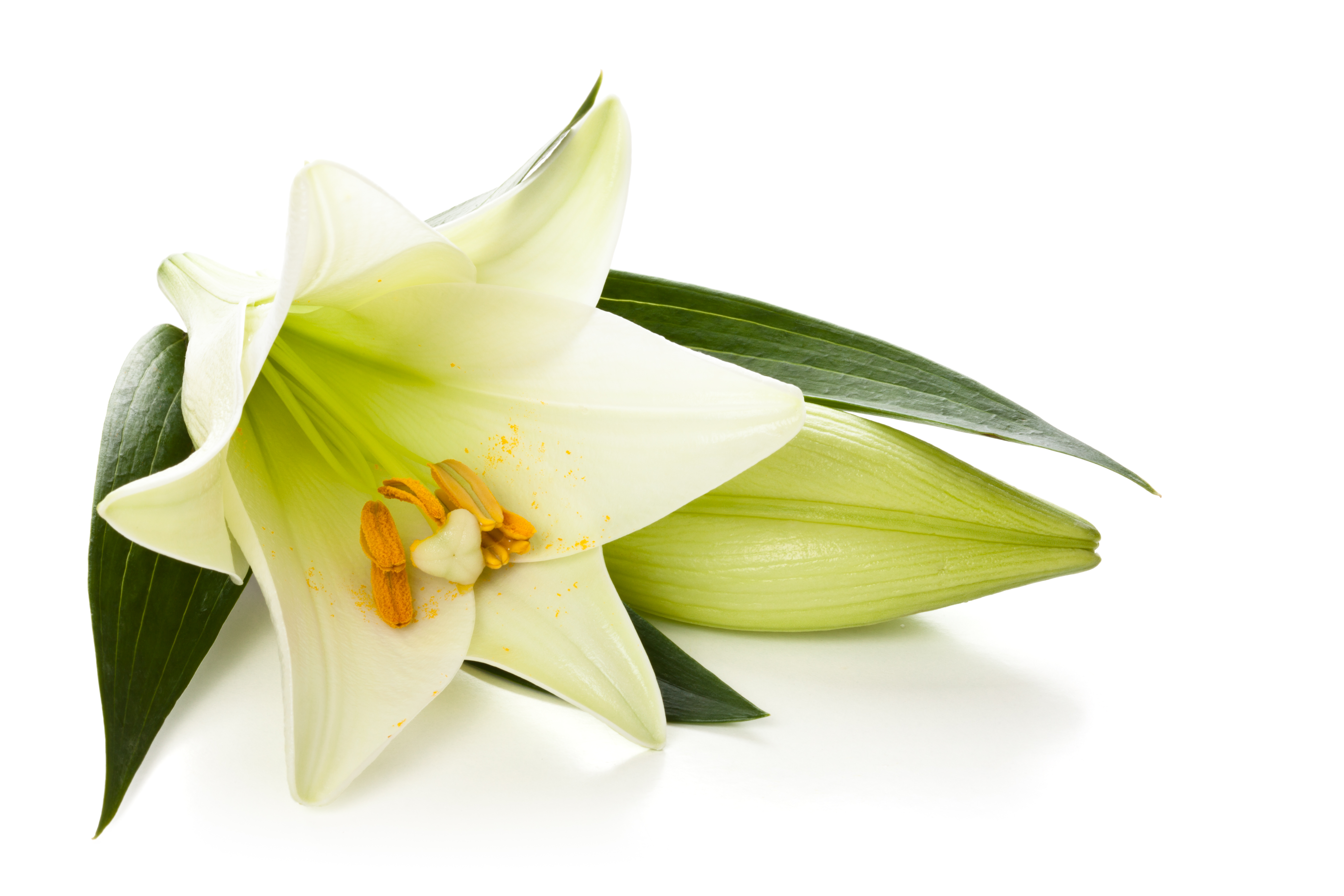Free Download Lily Png Images