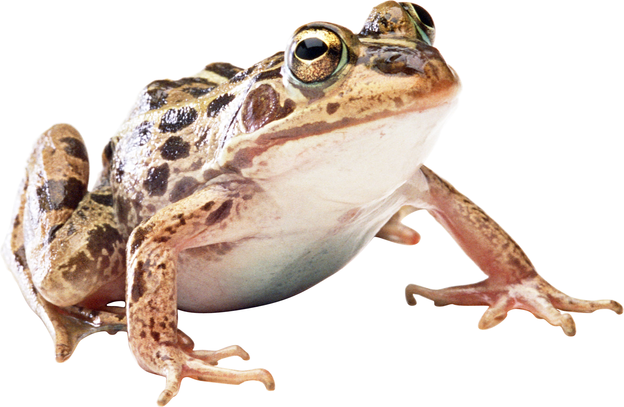 Frog Image Picture image #43142