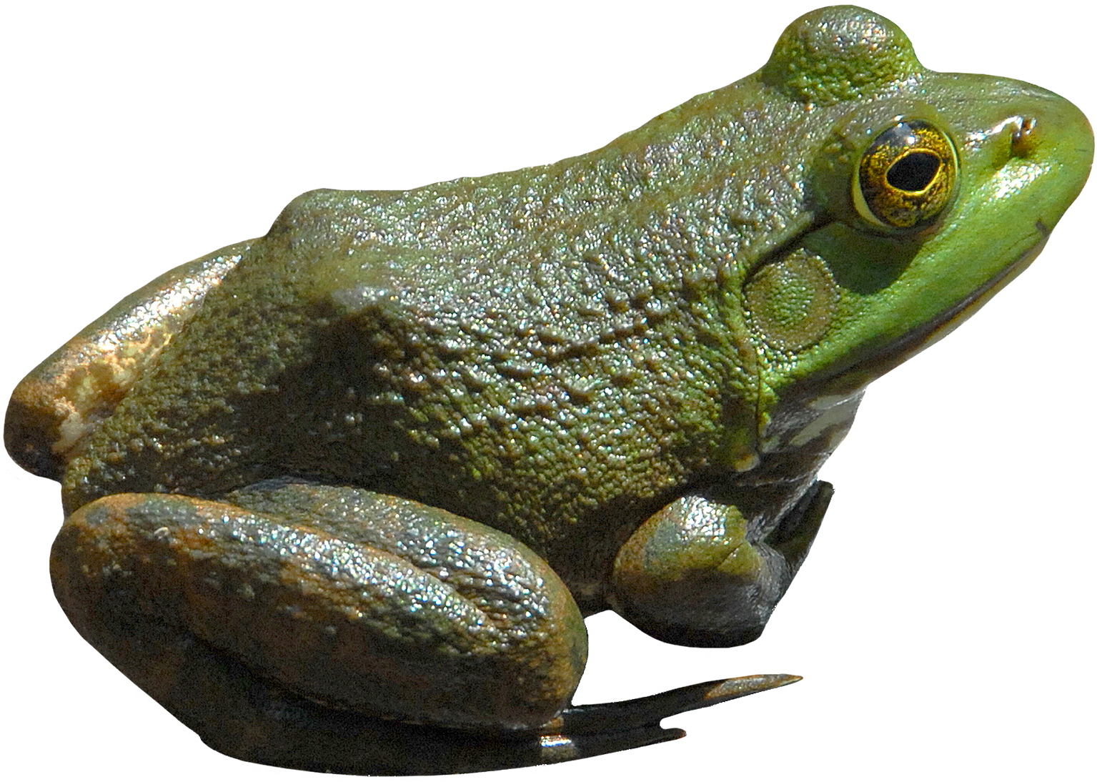 Frog PNG File