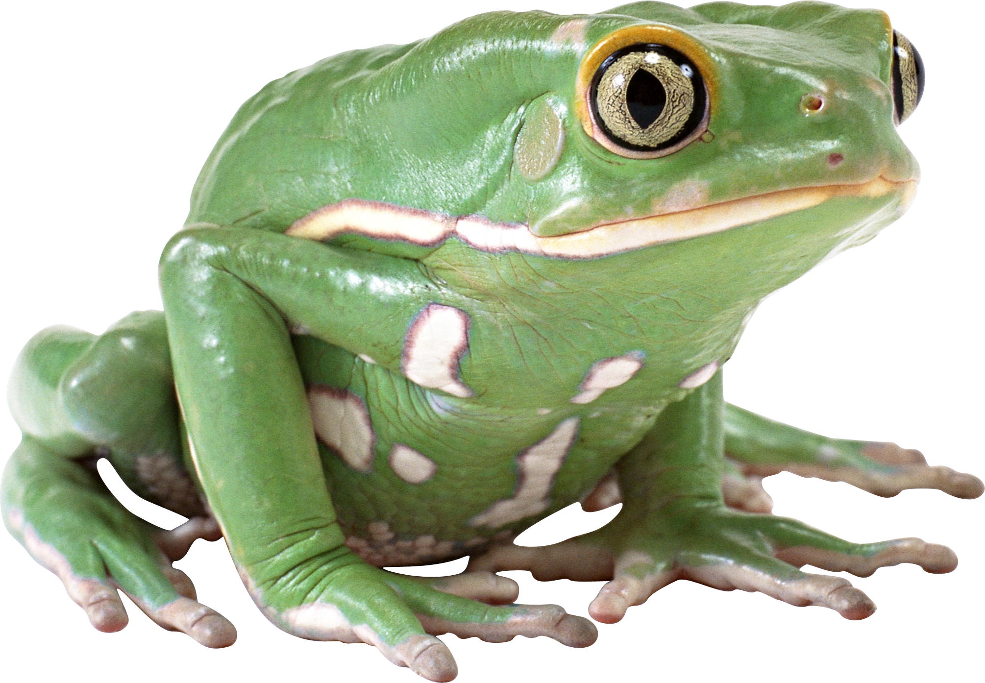 Frog PNG Image Free Download Image, Frogs image #43154
