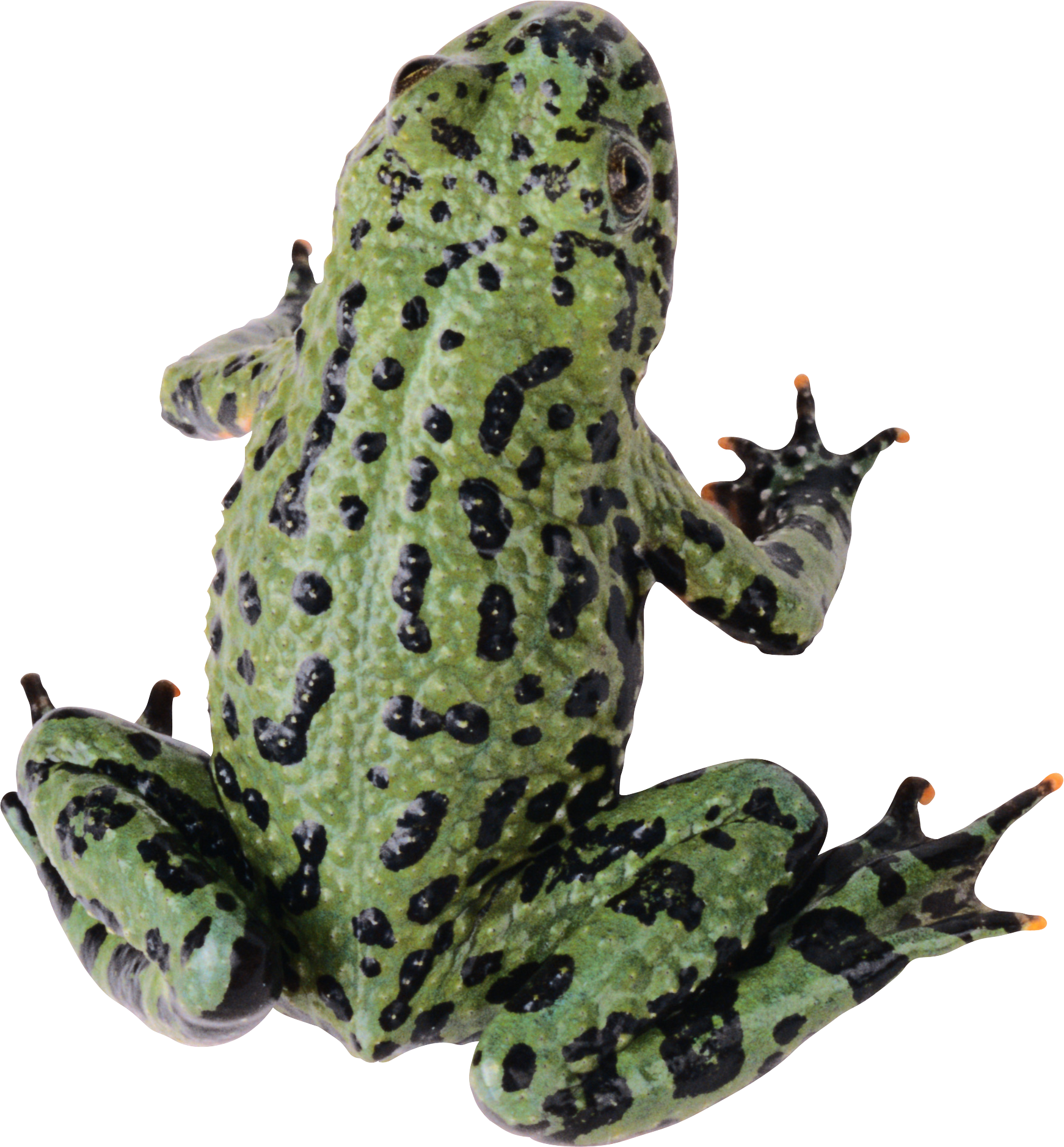 Frog PNG image hd