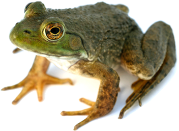 Frog PNG Picture