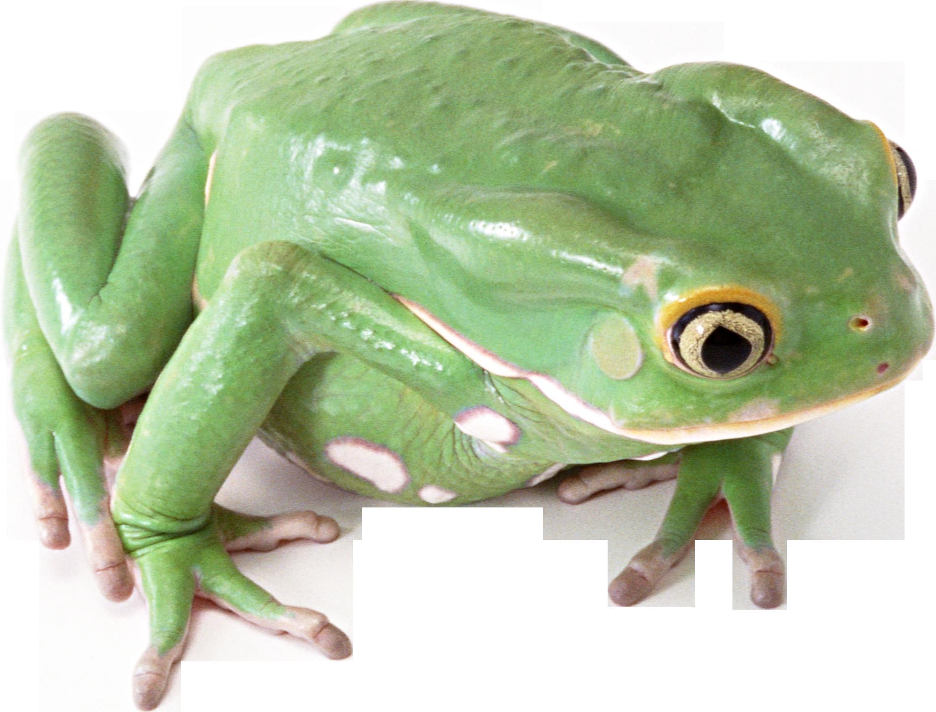 Frog PNG Transparent Image