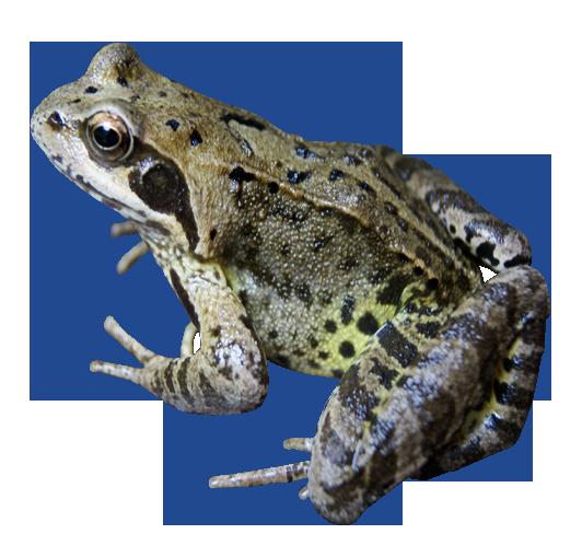 Frog Transparent Png