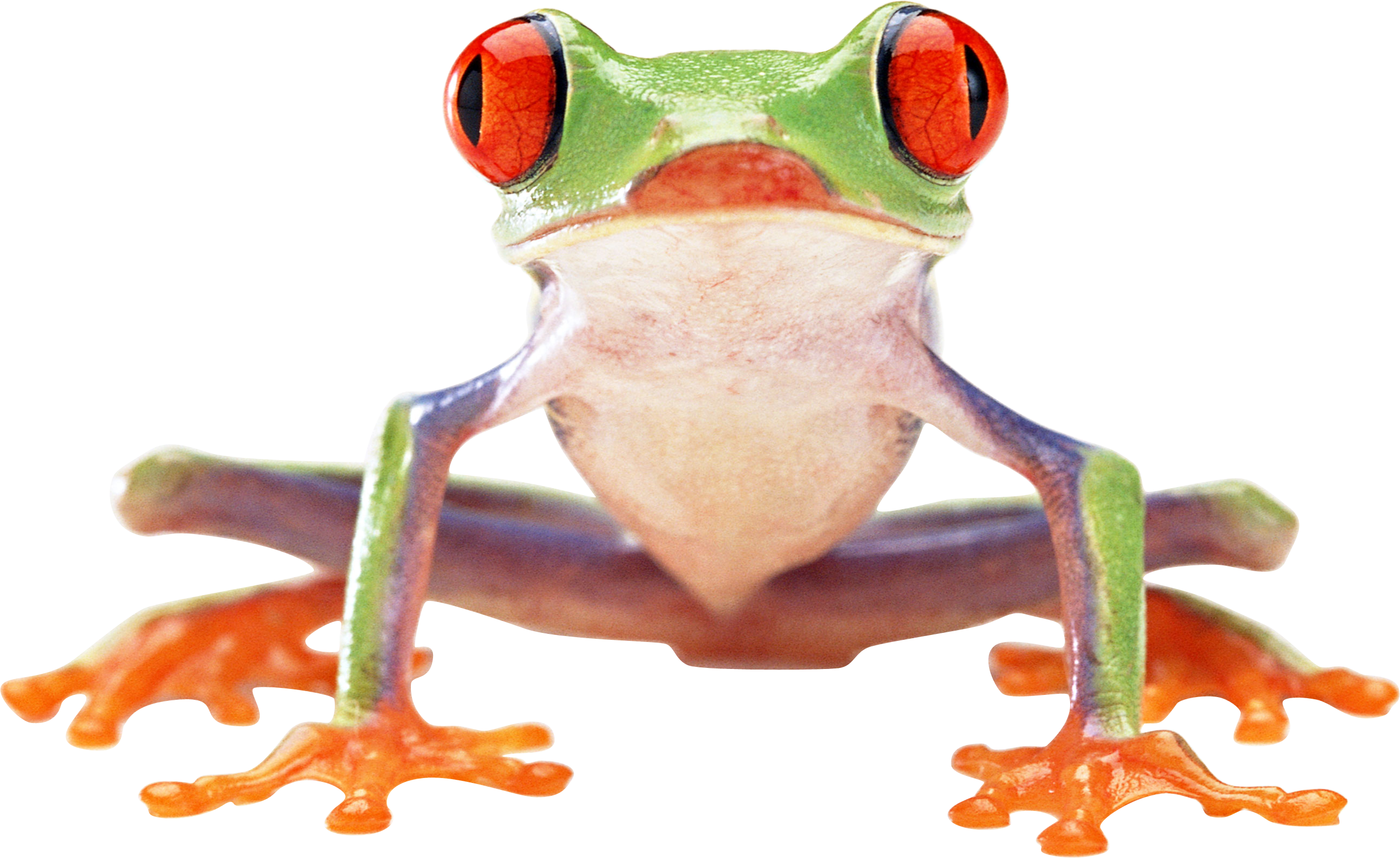Frogs Image Picture PNG image #43157