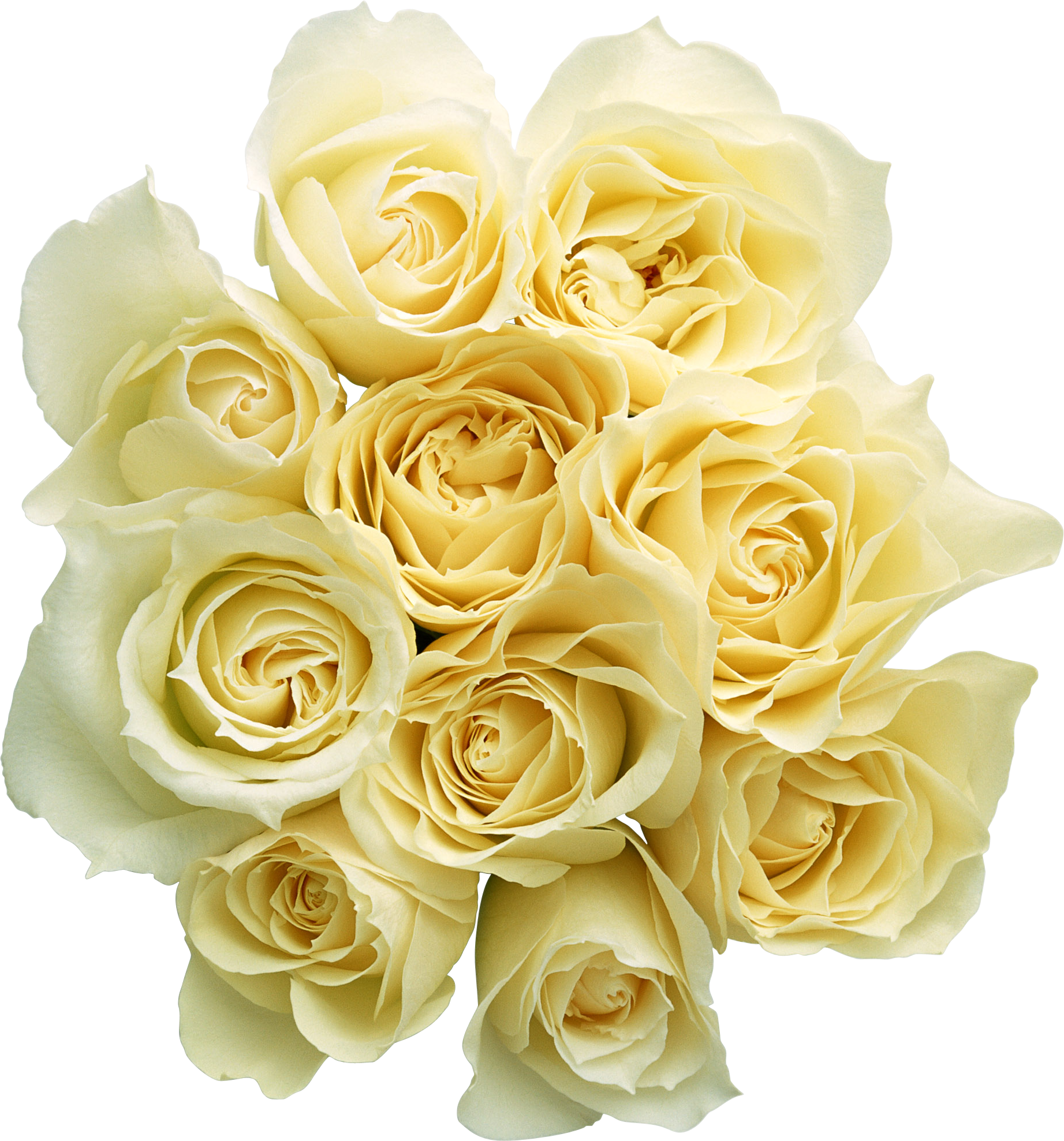Garden Roses Cut Flowers Bouquet Yellow Rose Family PNG image #48791