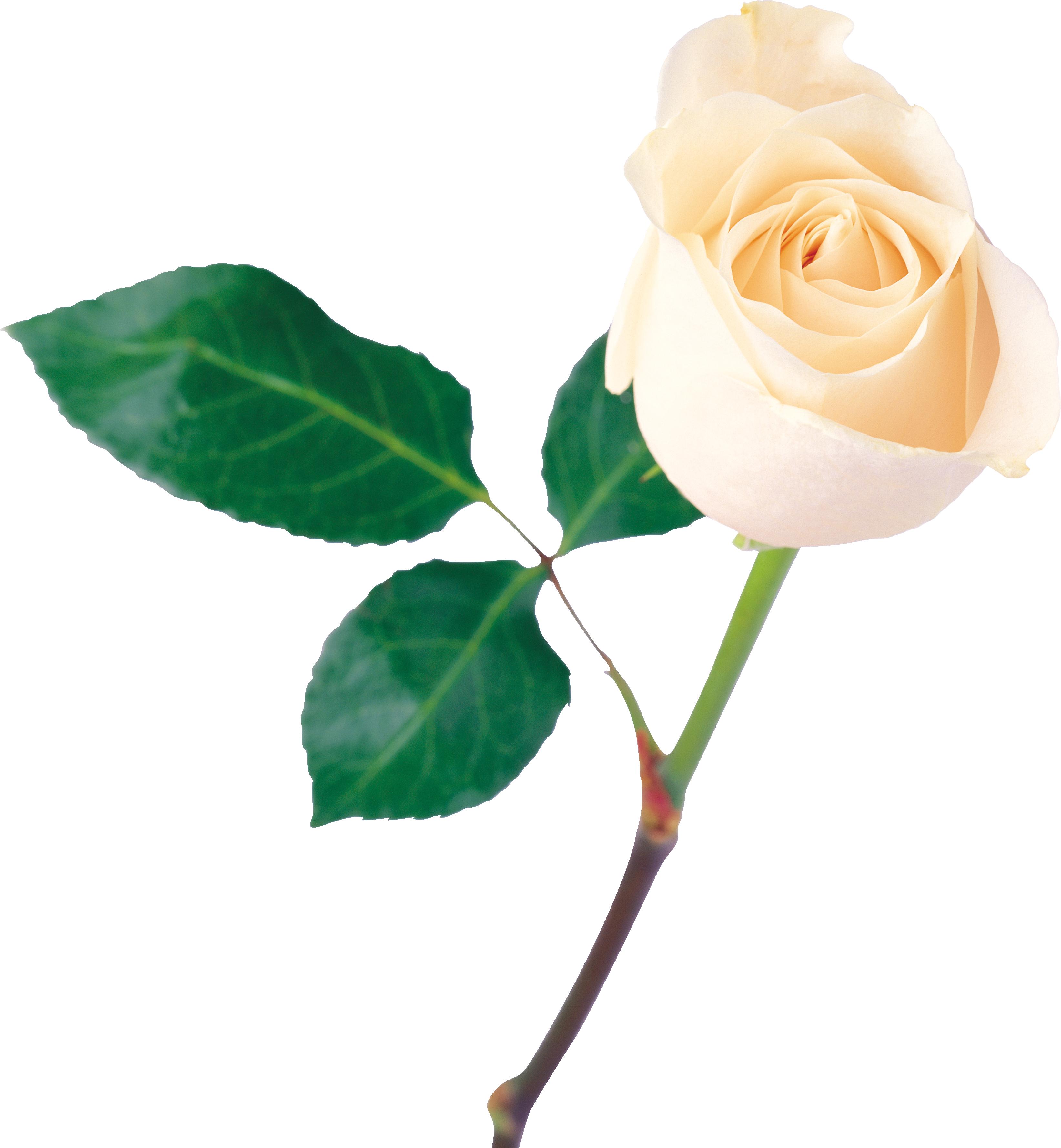 Garden roses Rose Plant Flowering plant