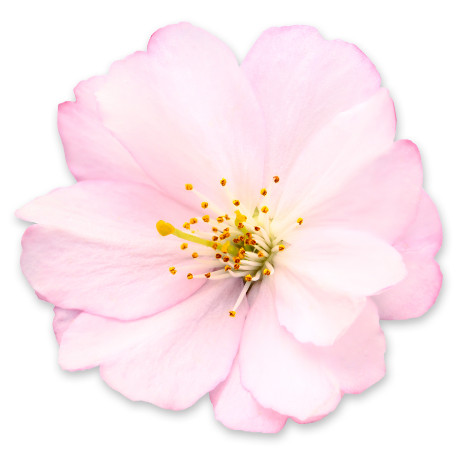 Get Cherry Blossom Png Pictures image #45504