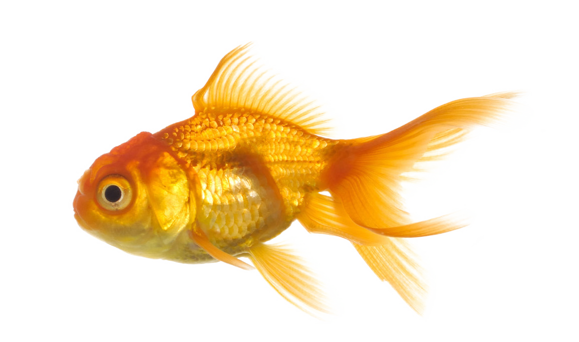 gold fish PNG
