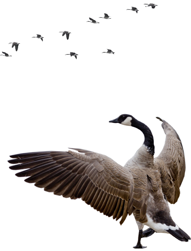 Goose Free Download Vector Png image #33521