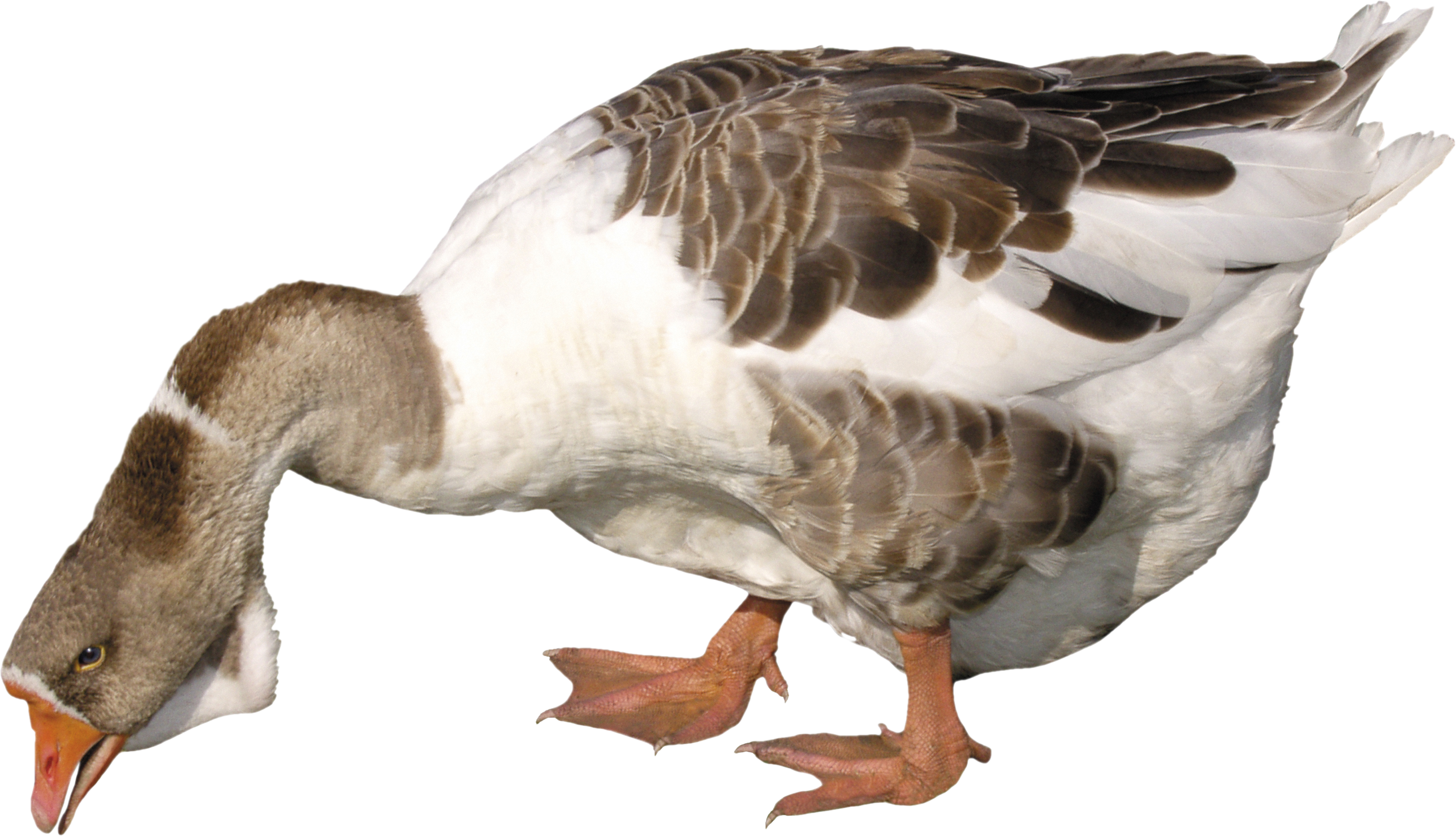 Collection Clipart Goose Png