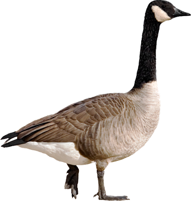 Goose Png Pictures image #33511