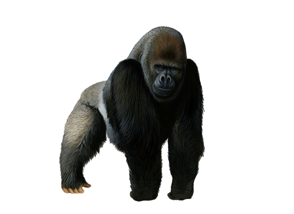 PNG Picture Gorilla image #37863