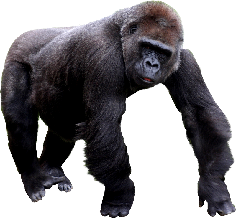 Free Download Of Gorilla Icon Clipart image #37869